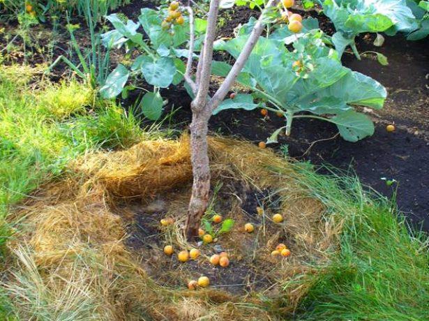 Загнивание корневой шейки абрикоса