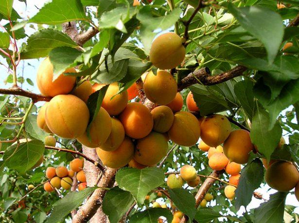 Плоды абрикоса Триумф северный на ветках