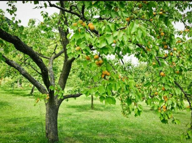 Место для абрикоса в саду