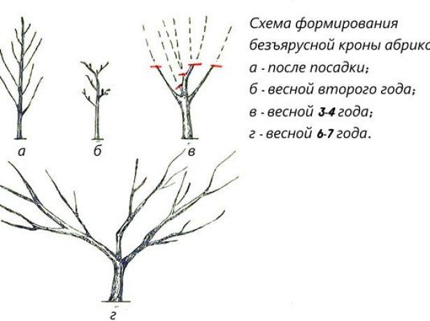 Формирование абрикосового дерева