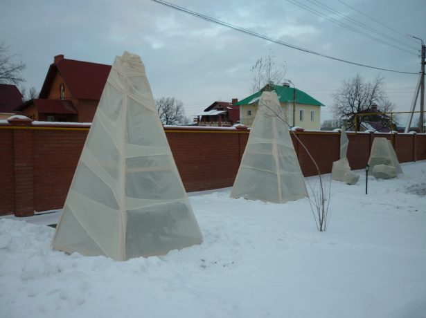 Укрытие саженцев абрикоса на зиму