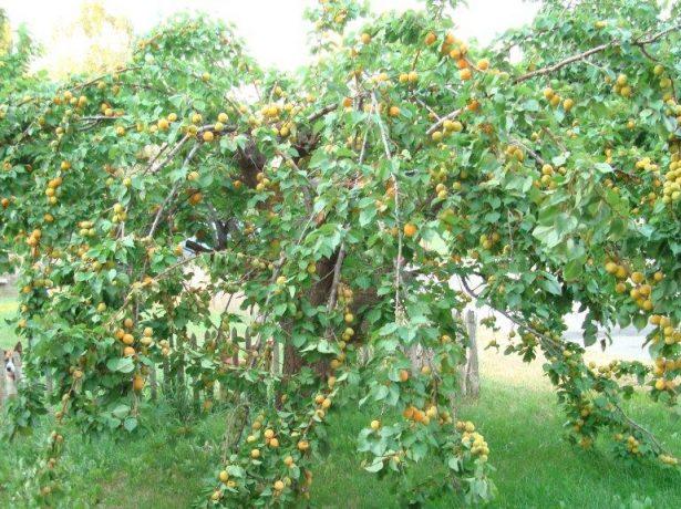 Абрикосовое дерево сорта Триумф северный