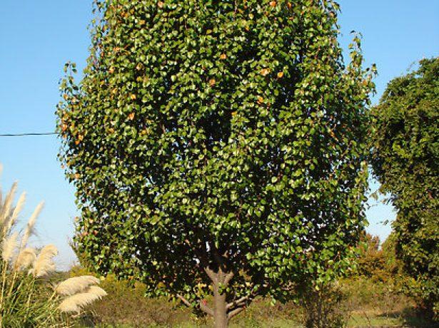 Грушевое дерево с широкопирамидальной формой кроны