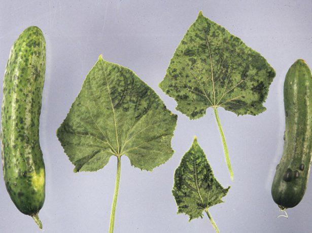 Листья и плоды огурца, поражённые зелёной крапчатой мозаикой