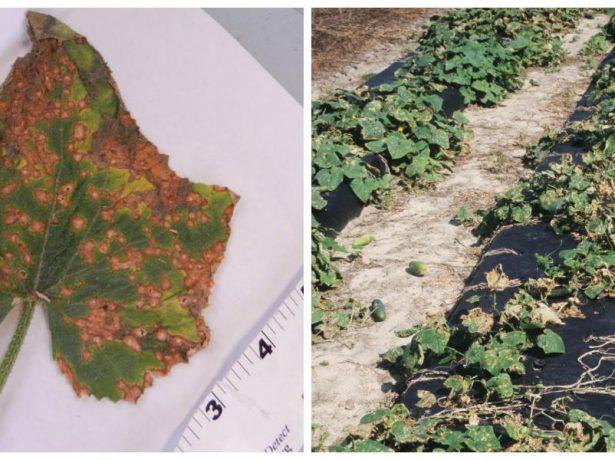 Коллаж — лист и кусты огурцов, поражённые антракнозом