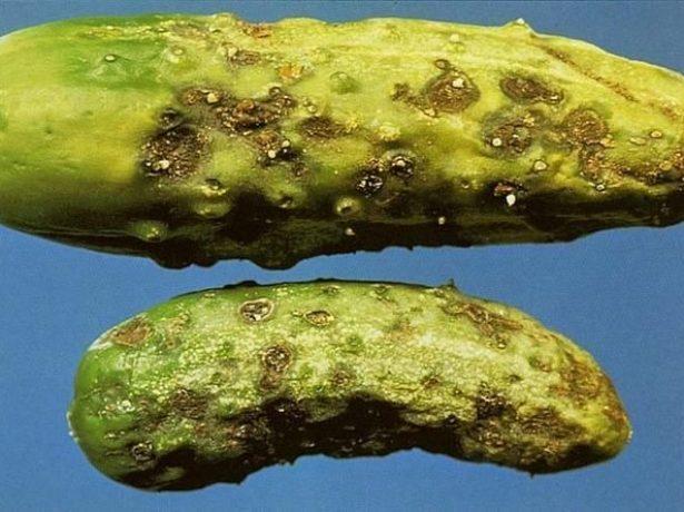 Плоды огурца, поражённые кладоспориозом