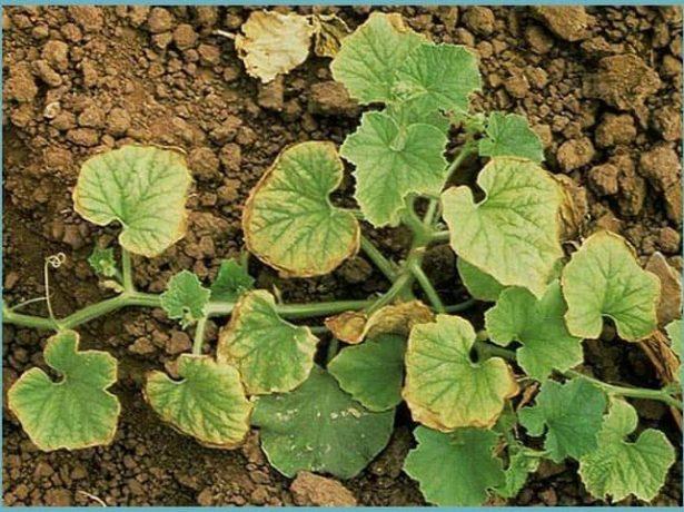 Листья огурца, поражённые хлорозом