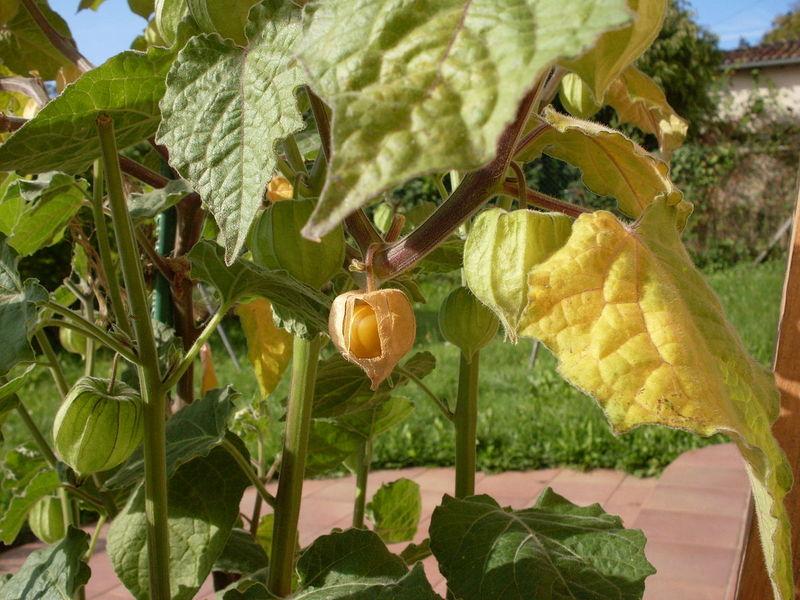 Физалис Мармеладный — неприхотливый родственник томата со вкусом сливы