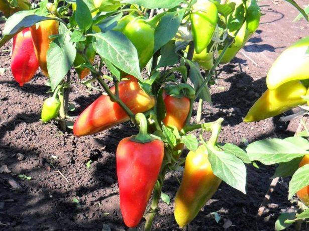 Перцы в огороде