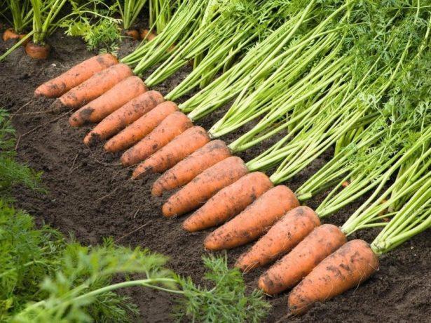 Морковь сорта Каскад