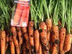 Сорт моркови Соломон