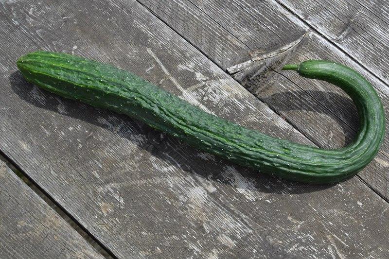 Огурец Китайский змей: как его растить