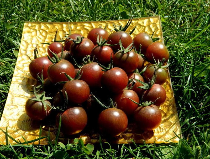 Томат Чёрный шоколад: темноплодные черри отличного вкуса