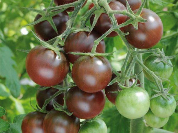 Кисть томатов Чёрный шоколад