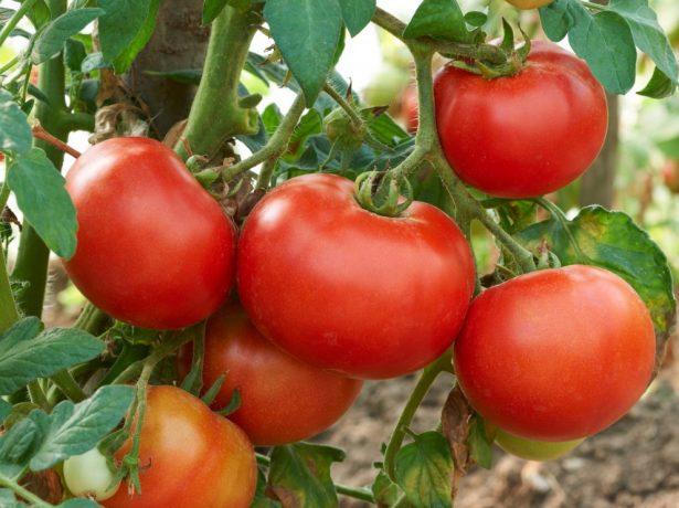 Кисть томатов