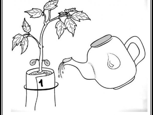 Полив рассады в «пелёнках»