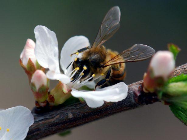 Пчела, опыляющая цветок