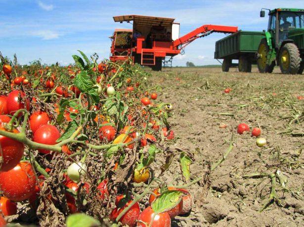 Промышленное выращивание томатов в Краснодарском крае