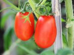 Томат Солнечная ягода