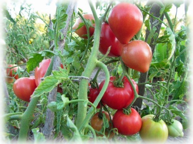 Куст томатов с плодами