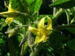 Мишка косолапый — универсальный сорт томатов