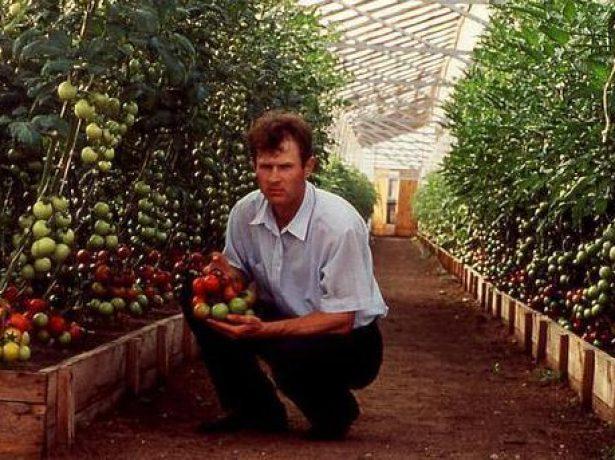 Выращивание томатов по Миттлайдеру