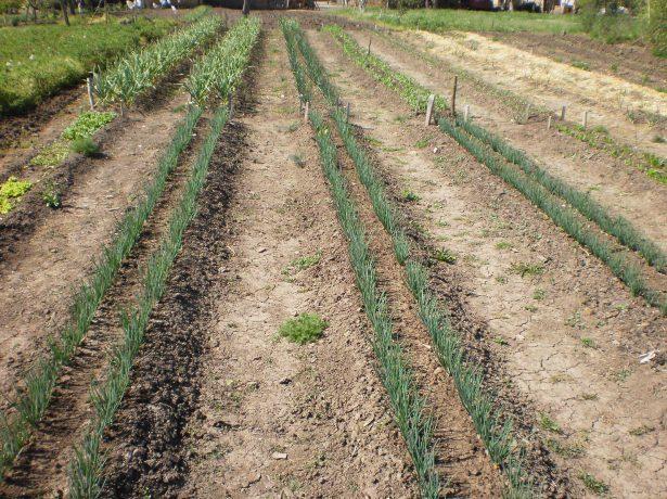 Высадка растений в две «строчки»