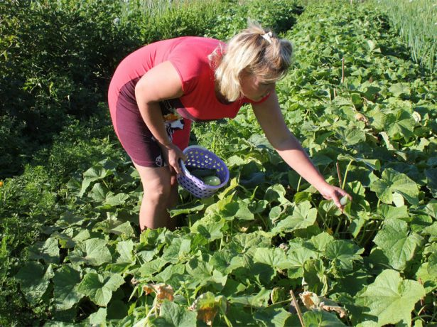 Сбор урожая на огуречных грядках