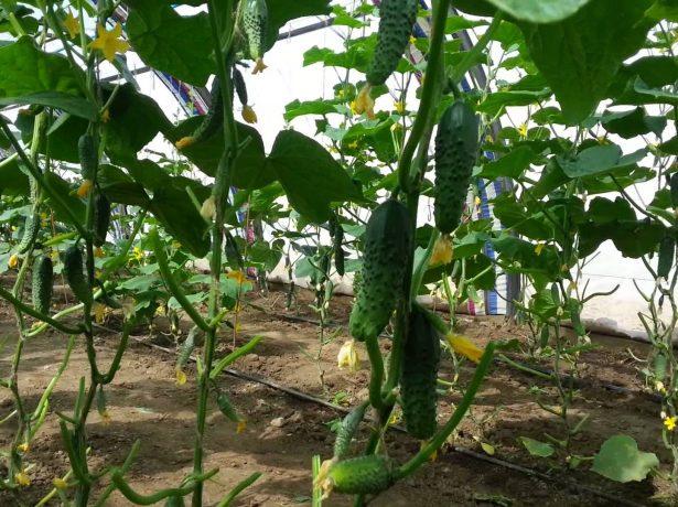 Огурцы с длительным плодоношением