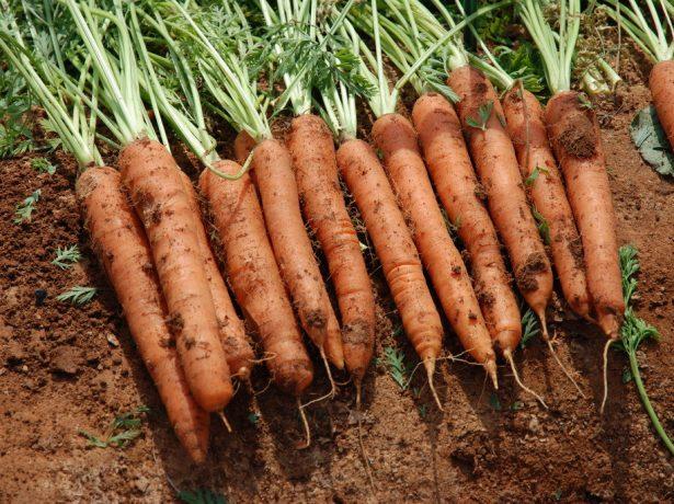 Сорт моркови Джерада