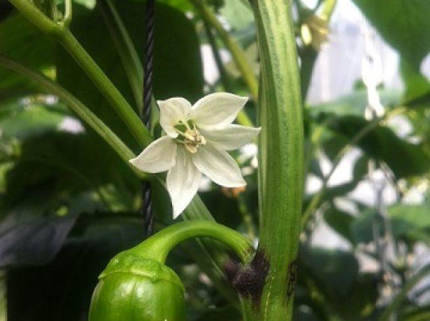 Цветы и завязи перца