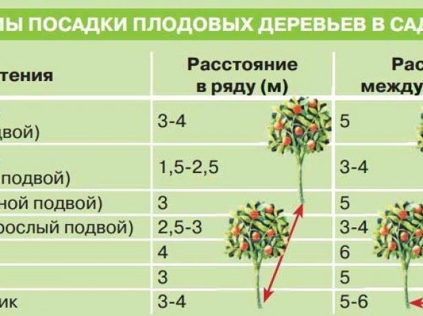 Расстояния между деревьями и кустарниками