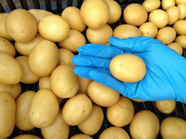 Сортовые мини-клубни картофеля