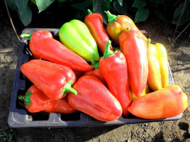 Урожай перца Подарок Молдовы