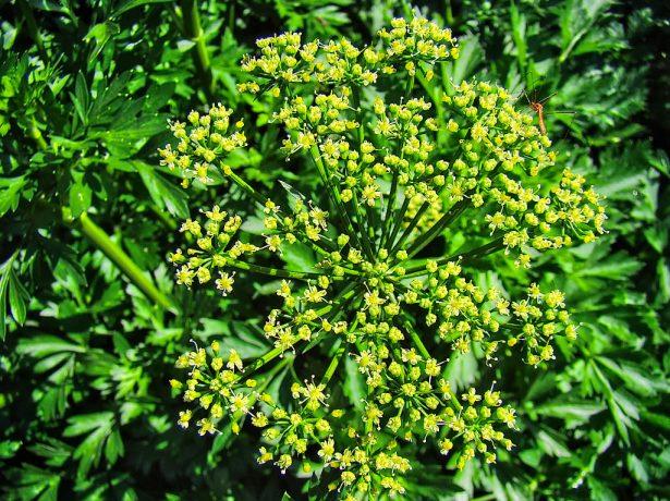 Соцветие петрушки