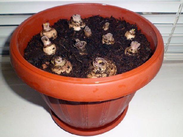 Корнеплоды петрушки в горшке