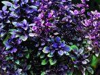 Базилик Карлик пурпурный
