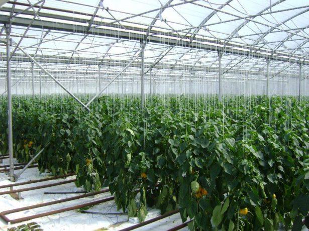 Промышленное выращивание болгарского перца