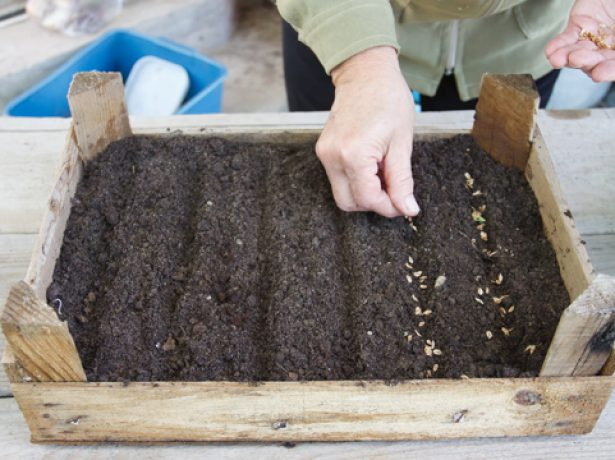 Посев семян жимолости
