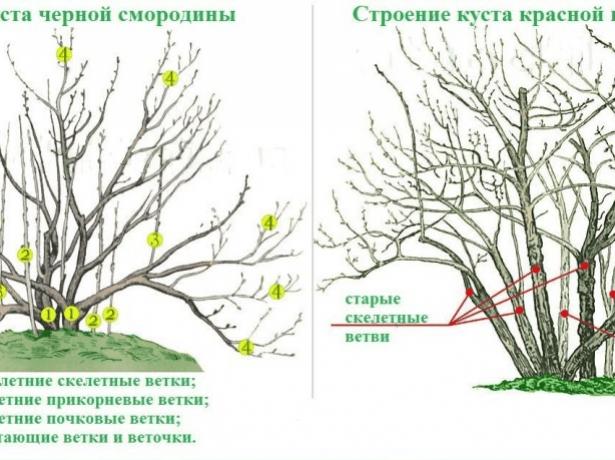 Строение куста смородины разных видов