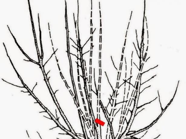 Обрезка белой и красной смородины