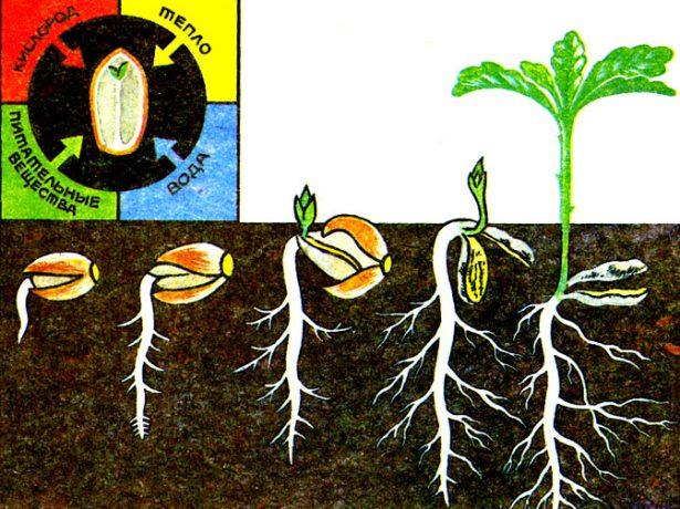 Схема прорастания семени