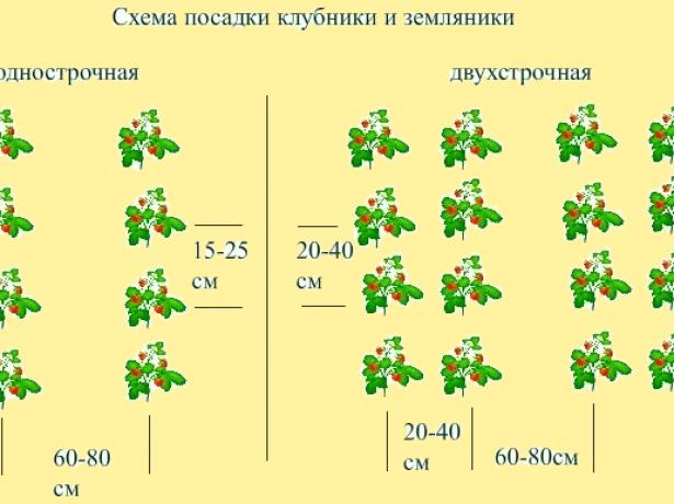 Классические схемы посадки клубники