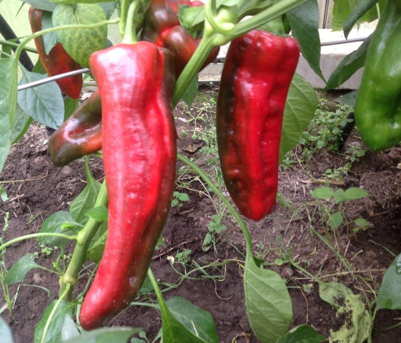 Эффектный Какаду — перец, который хотят вырастить многие