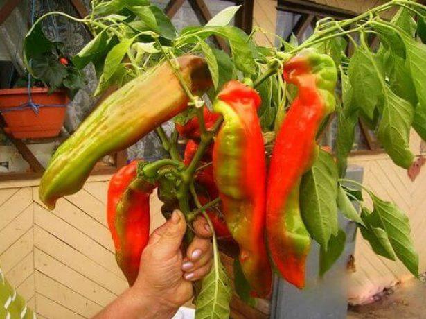 Перец Какаду: побег с плодами