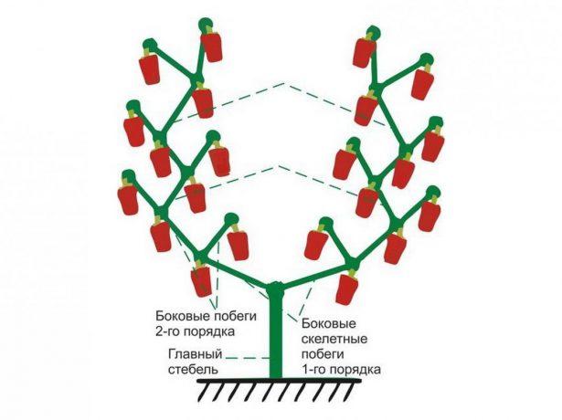 Схема формирования перца