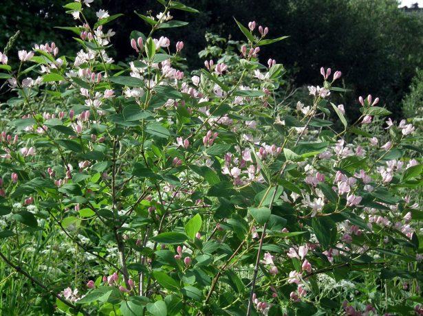 Жимолость Татарская — цветы