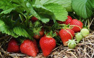Как правильно подкармливать кусты клубники весной, чтобы получить богатый урожай