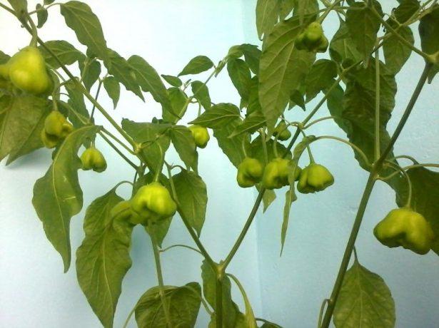 Незрелые плоды перца Колокольчик