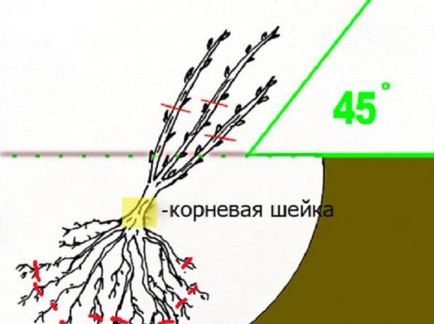 Схема посадки смородины